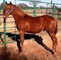 Yearling Colt for Sale out of A Streak of Fling