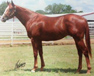 4 yr old sorrel gelding for sale